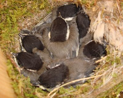 Black capped Chickadee babies 061013 back nfp DSC04610