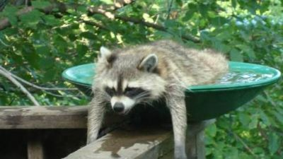 Raccoon bath Phil B API