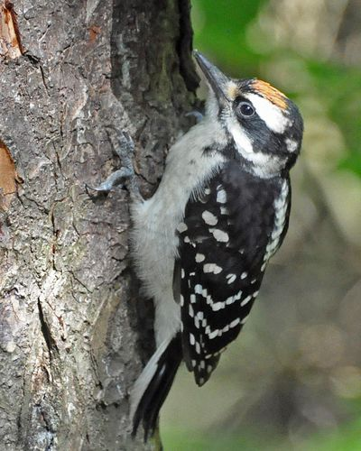 Hairy Woodpecker young male DSC_1377