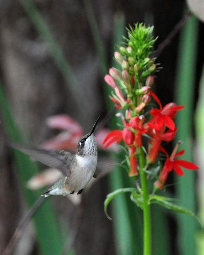 Ruby-throated Hummingbird Cardinal Flower DSC_1817 p