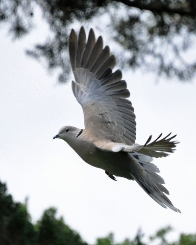 Eurasian Collared Dove DSC_1529
