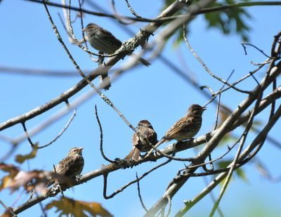 Chipping sparrow family DSC_2125