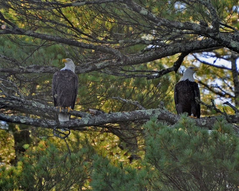 Bald Eagles Loon Lake DSC_0007