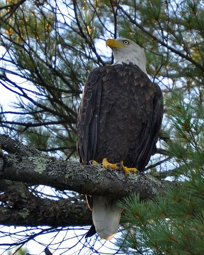 Bald Eagle Loon Lake DSC_0038