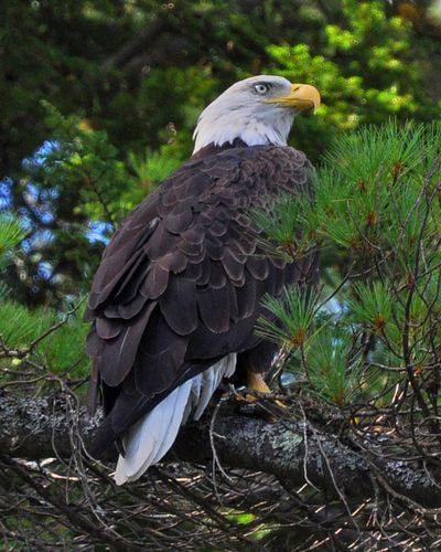 Bald Eagle Loon Lake DSC_0325 8x10p