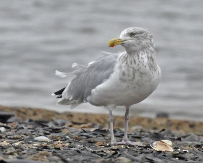 Herring Gull CC 1013 DSC_1105