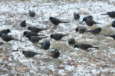 Common Grackles DSC_1981