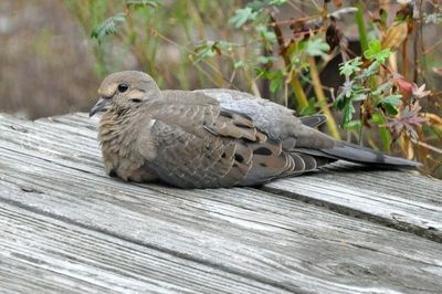 Mourning Dove DSC_0423