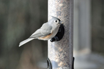 Tufted Titmouse DSC_0069
