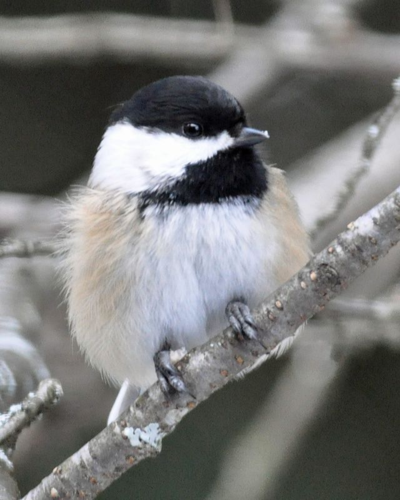 Black capped Chickadee DSC_0114