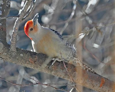 Red-bellied Woodpecker DSC_0151