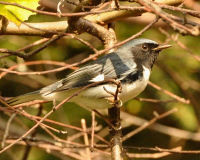 Black-throated Blue Warbler DSC_1404