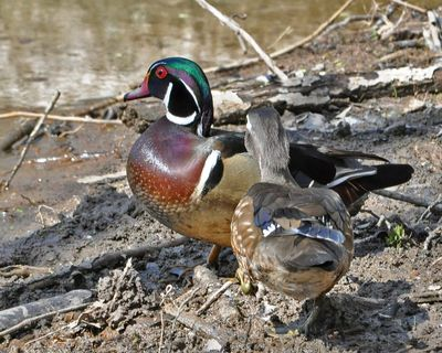 Wood Duck pair DSC_1236