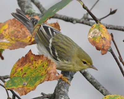 Blackpoll Warbler fall Cape Cod DSC_1180