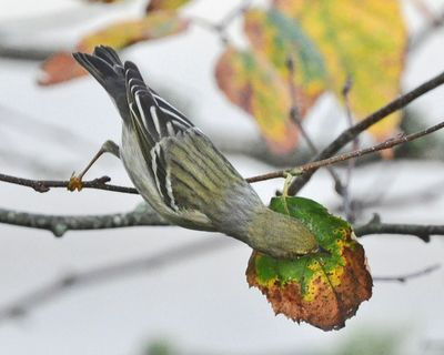 Blackpoll Warbler fall Cape Cod DSC_1213
