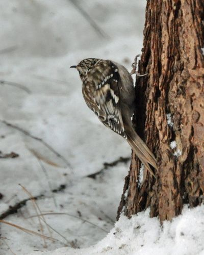 Brown Creeper DSC_0275