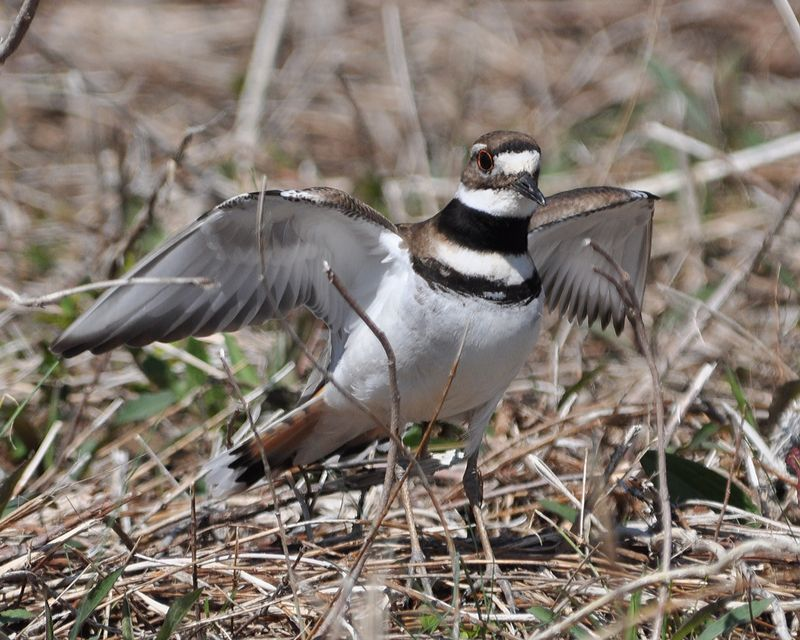 Killdeer DSC_0995