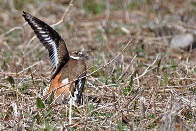 Killdeer DSC_0993 4x6