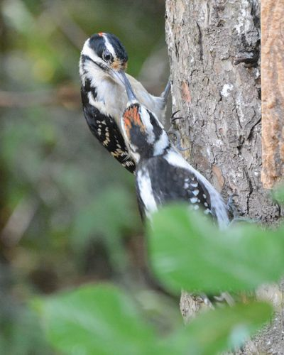 Hairy Woodpecker and young DSC_2991