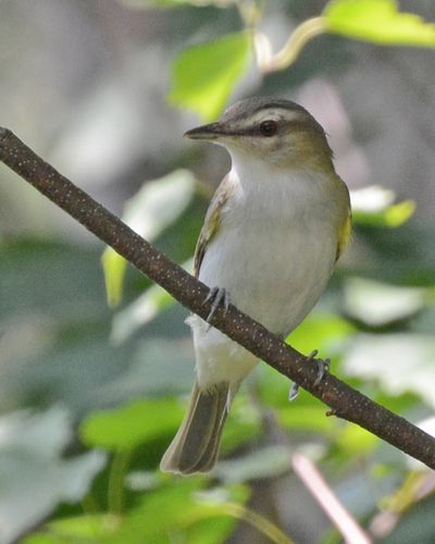 Red-eyed Vireo young DSC_3099