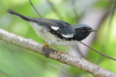 Black-throated Blue Warbler DSC_3091