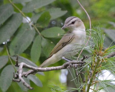 Red-eyed Vireo DSC_3109