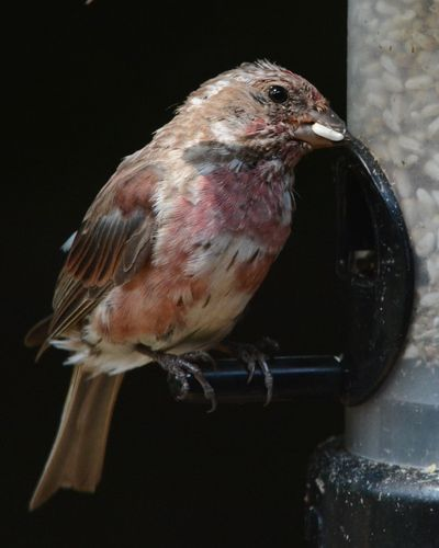 Purple Finch molting Castillo DSC_3244