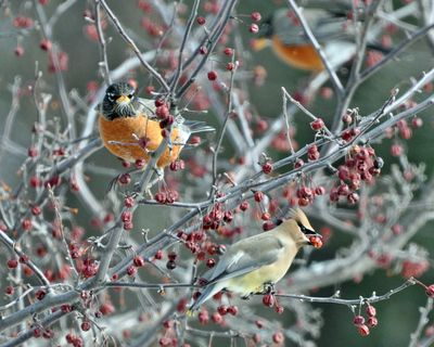 Waxwing and robin DSC_0524