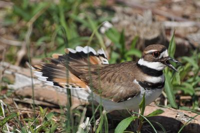 Killdeer DSC_1005