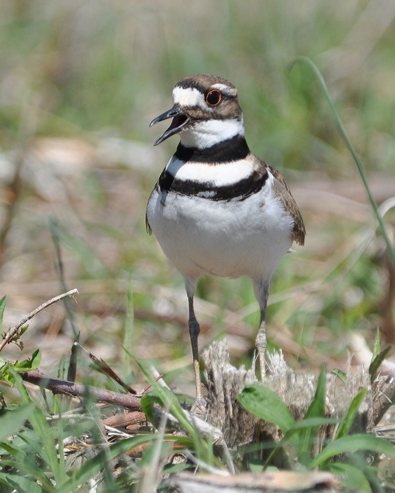 Killdeer DSC_0986