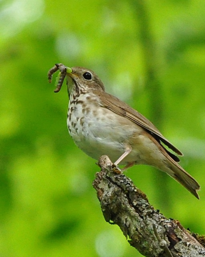 Hermit Thrush DSC_1316 ps p