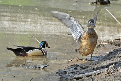 Wood Duck pair DSC_1230