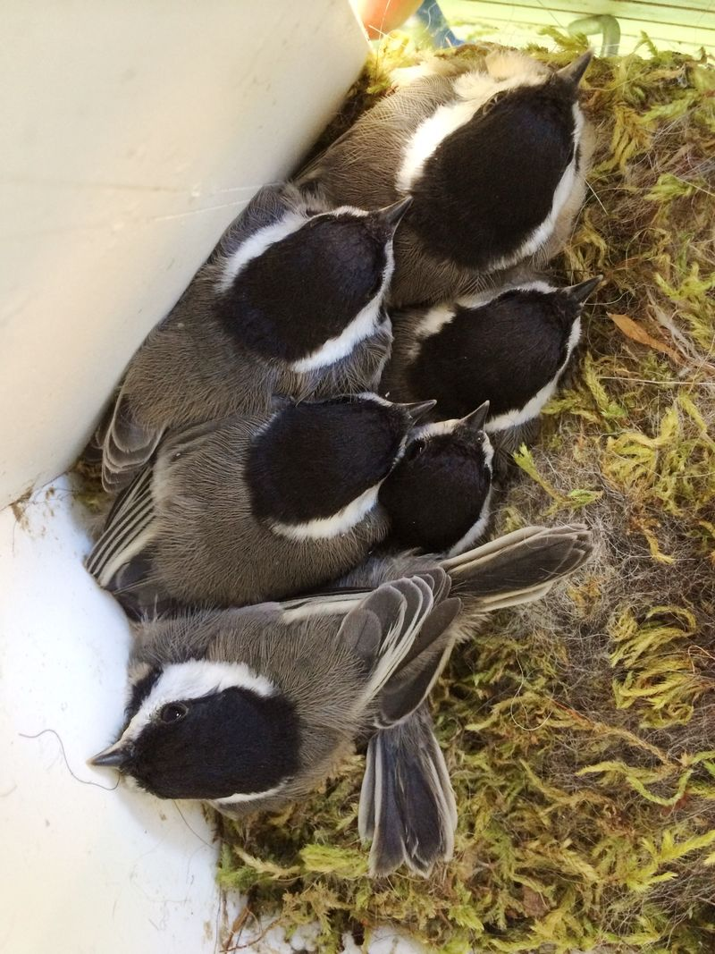 Chickadee Nestlings on hatch morning 061414 19 days
