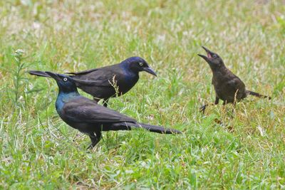 Common Grackles w young DSC_3004