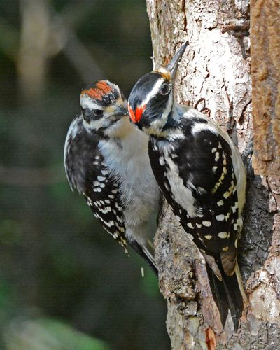 Hairy Woodpecker w young DSC_2982