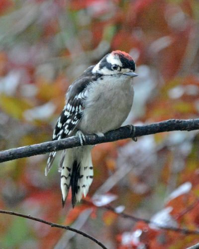 Downy Woodpecker young DSC_2633