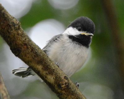 Black-capped chickadee fledgling DSC_2693 8x10