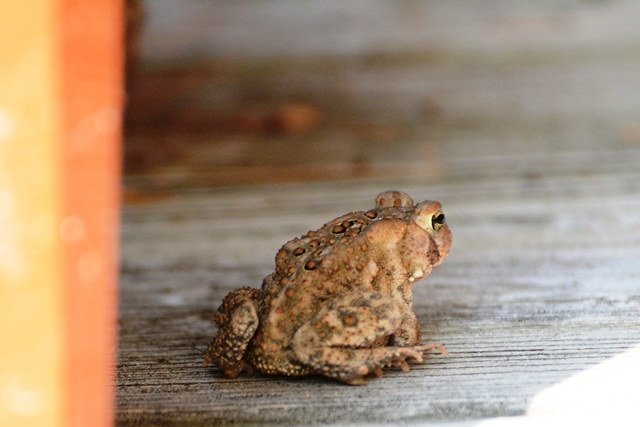 American Toad DSC_3259