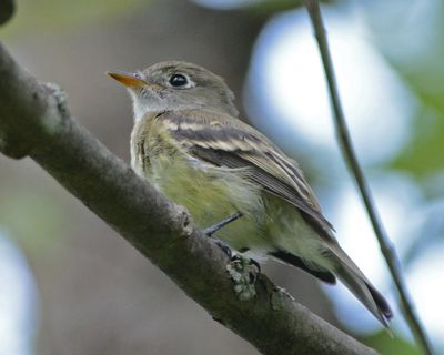 Least Flycatcher DSC_3420