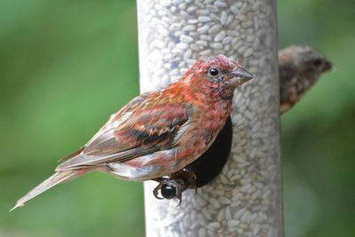 Purple Finch molting Castillo DSC_3864