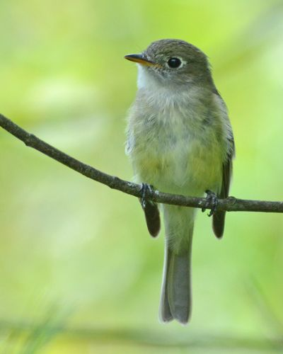 Least Flycatcher DSC_3429