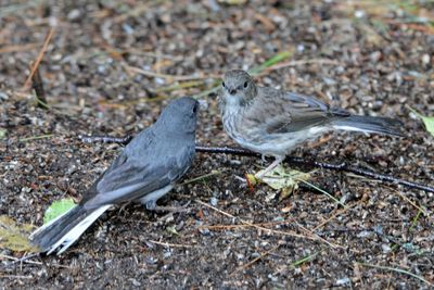 Dark-eyed Junco w young Castillo DSC_3927