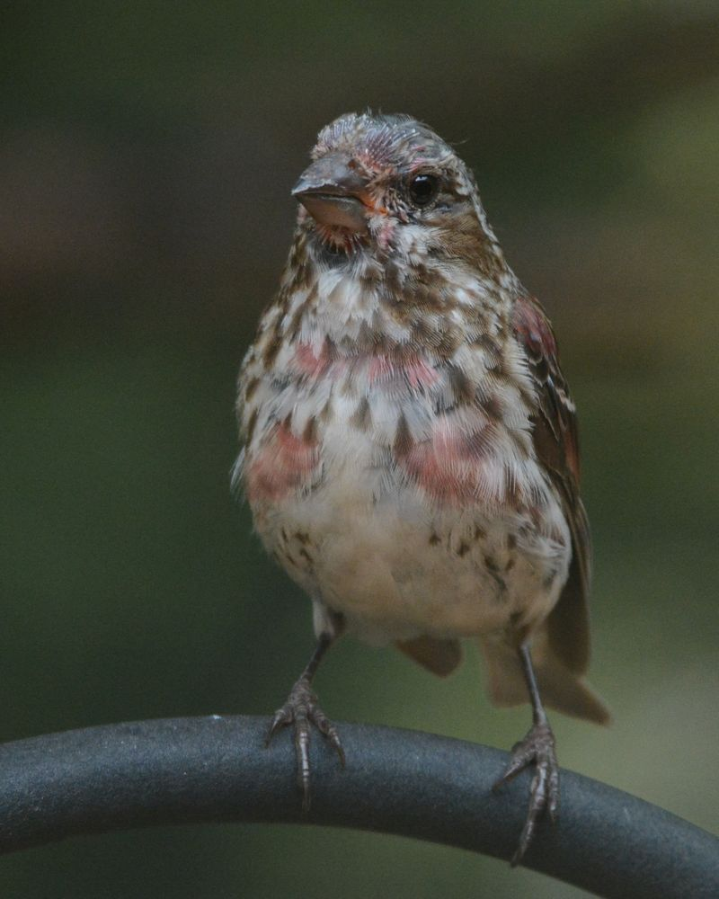 Purple Finch molting Castillo DSC_3254