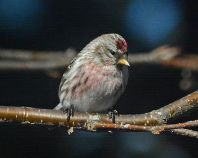 Common Redpoll DSC_5377