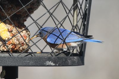 Bluebird at caged cafe w mealworm med
