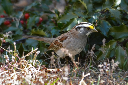 White-throated Sparrow DSC_6135 Castillo