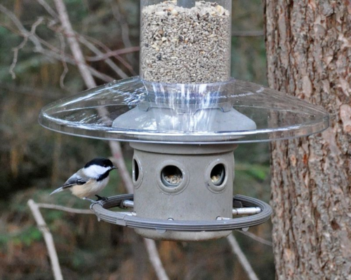 Chickadee on Eliminator DSC_1819 crop