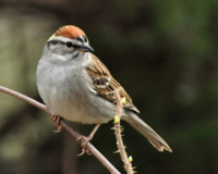 Chipping Sparrow DSC_3468 N Castillo
