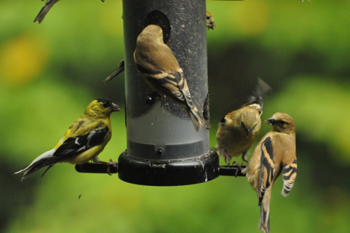 Goldfinches DSC_1067