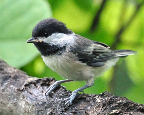 Newly fledged Black-capped Chickadee DSC_2333 8x10